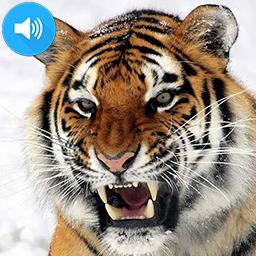 feeding_tiger